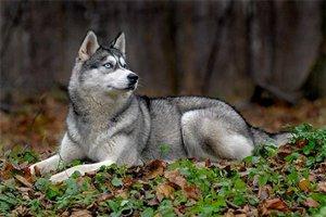 Хаски - голубоглазые собаки