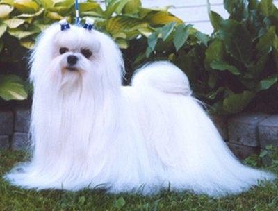 Длинношерстные собаки и терморегуляция