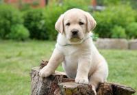 Как вырастить щенка