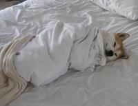 Почему собака рвет постельное белье?